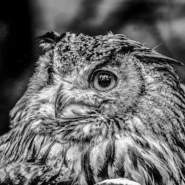 Eagle owl by Garry Chisholm - Black & White Animals ( bird, garry chisholm, nature, owl, wildlife, prey )