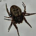 The Walnut Orb-weaver Spider