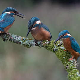 Kingfisher by Howard Kearley - Animals Birds ( blue, fish, three, birds, king )