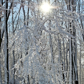 by Siniša Almaši - Nature Up Close Trees & Bushes ( up close, natural light, white, forest, woods, sun, colours, sky, tree, nature, cold, snow, trees, weather, light )
