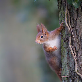 Looking by Denis Keith - Animals Other Mammals ( climbing, wild, tree, forest, squirrel, mammal,  )