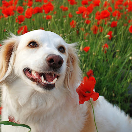 Dog in a poppy field by Simona Serdiuc - Animals - Dogs Portraits ( pet portrait, pet, white dog, poppy, dog, poppyfield )