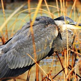Blue Heron in Tobico Marsh by Kathy Booth - Animals Birds ( bird, michigan, blue heron, herons, water birds, birds, heron )