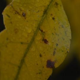 Fall rain by Thomas Fitzrandolph - Nature Up Close Leaves & Grasses ( water drops, fall, niagara county ny, trees, nikon d5200, rain drops, leaves, lockport ny )
