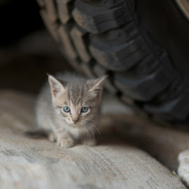gatita del talle by Annette Flottwell - Animals - Cats Kittens ( kitten, cat, gatita, tyre, grey )