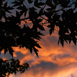 Silhouettes & Sunsets by Anwen Starich - Nature Up Close Trees & Bushes ( clouds, silhouette, sunset, summer, leaves )