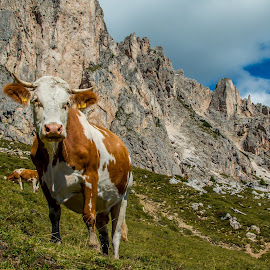 Cow by Mario Horvat - Animals Other Mammals ( hill, mountains, passo giau, cow, dolomites, italy )
