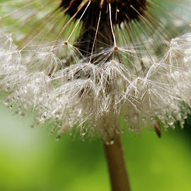 by Dipali S - Nature Up Close Other plants ( dandelion, seeds, dispersal )