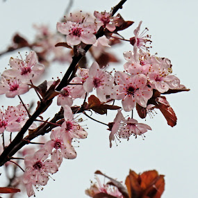 Spring blossom by Karen Noble - Flowers Tree Blossoms (  )