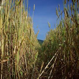 Пшеница by Georgi Kolev - Novices Only Flowers & Plants ( небе., пшеница., ден., слънчев., време. )