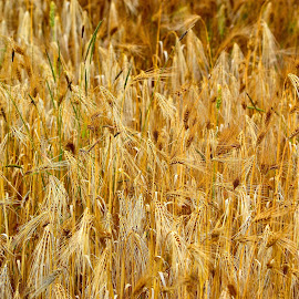 Fields of gold by Heather Aplin - Landscapes Prairies, Meadows & Fields