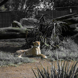 Watch  by Roopam Choudhury - Animals Lions, Tigers & Big Cats ( auckland, cheetah, zoo, big cat, wildlife )
