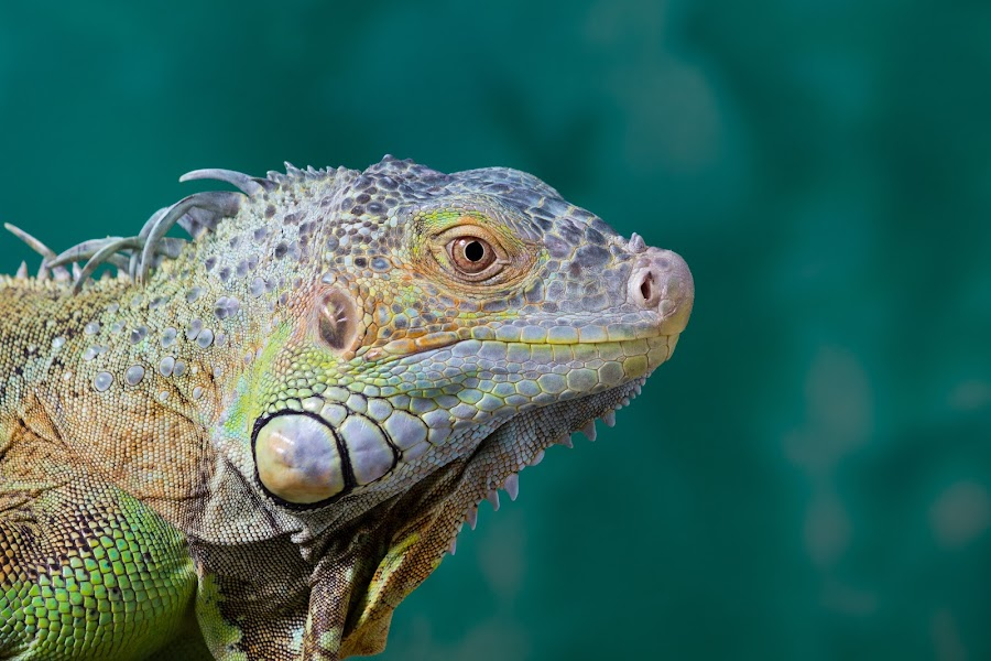 El Salvador Green Iguana by 'Rey de Guzman - Animals Reptiles ( rhcc )