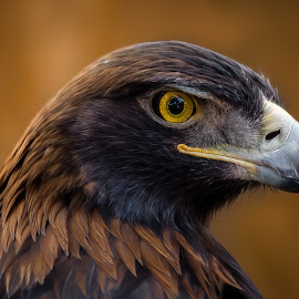 Golden Eagle by Dave Lipchen - Animals Birds ( golden eagle )
