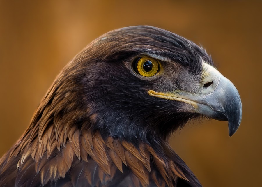Golden Eagle by Dave Lipchen - Animals Birds ( golden eagle )