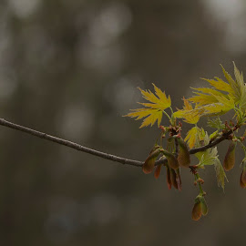Terminal Maple Branch Foliage by Keith Lowrie - Nature Up Close Leaves & Grasses ( maple tree, tree branch, leaves, maple leaves, samaras )