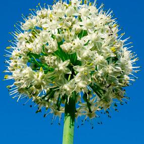 Onion Flower from bottom  by Basant Malviya - Flowers Single Flower ( macro, nature, onion flower, flower,  )