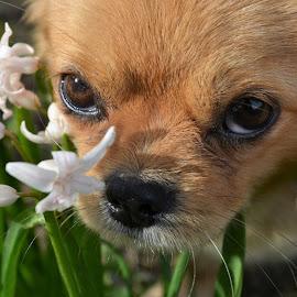 by Snezana Zivkovic - Animals - Dogs Puppies