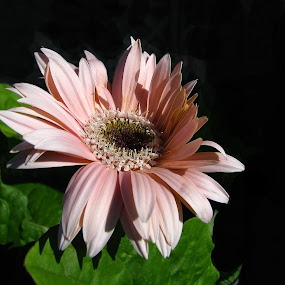 HIDING FROM THE SUN by Sharon Pierson - Nature Up Close Flowers - 2011-2013 ( pink green gerber daisy sun,  )