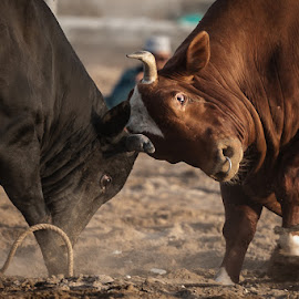 bullfight by Sanjoy Sengupta - Animals Other Mammals ( animals, nmea, bulls, nikkor, nikonmea, nikon, bullfight )