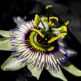 by Paul Scullion - Nature Up Close Gardens & Produce ( colour, wild, macro, black and white, close up, passion, flower,  )