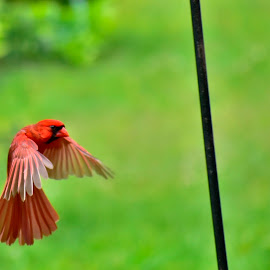 Hovering Redbird by Mark Clark - Uncategorized All Uncategorized ( red, flight, plumage, natural, redbird, nature, flying, cardinal, birds, colorful,  )
