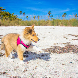 first step by Meaghan Browning - Animals - Dogs Playing ( collie, sand, walking, puppy, small )