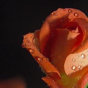 Orange by Randi Hodson - Flowers Single Flower ( orange, rose, flower,  )