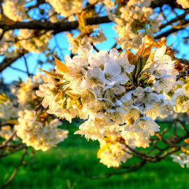 Cherry Blossom by Lukas Proszowski - Nature Up Close Trees & Bushes ( cherry, hdr, tree, nature, close up, light, blossom, golden hour,  )