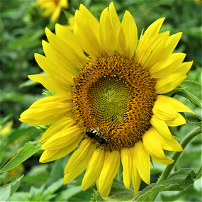 Sunflower and bee. by Hal Gonzales - Flowers Single Flower ( pollen, bee, sunflower, sunshine, yellow,  )