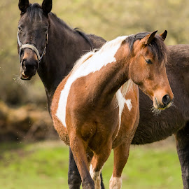 What do you mean not tonight darling? by Stephen Crawford - Animals Horses ( mare, relationship, bond, espectant, mother, female, horse, male, pregnant, together, father,  )