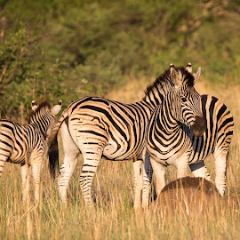 confusion by Dawie Nolte - Animals Other ( black and white, one head, zebra, stripes, zebras )