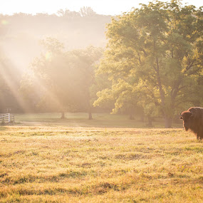 Morning Bison by John Spain - Landscapes Prairies, Meadows & Fields ( pasture, bison, morning, sun )