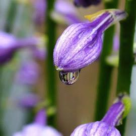 Rain Drop Hosta by ChrisTina Shaskus - Flowers Flower Buds