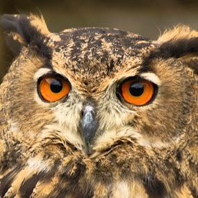 by H. B. - Animals Birds ( bird, animals, owl, birds, owls )