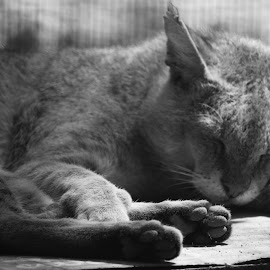 Wildcat by Shyam Akirala - Animals - Cats Portraits ( cats, sleeping cat, paws, black and white, animals )
