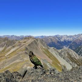 by Phil Bear - Landscapes Mountains & Hills ( bird, mountains, arthur's pass, parrot, kea, avalanche peak, new zealand )