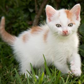 by Brook Kornegay - Animals - Cats Kittens (  )