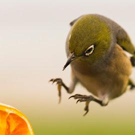 Waxeye alighting by Trevor Bond - Animals Birds ( silvereye, bird, nz, waxeye )