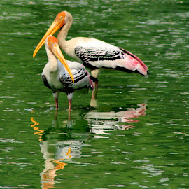 Painted Stork in couple by Rohit Lamba - Novices Only Wildlife ( painted stork in couple,  )