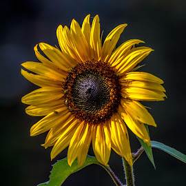 The Sunflower by Gary Hanson - Flowers Single Flower ( single, green, late afternoon, sunflower, yellow, insects )