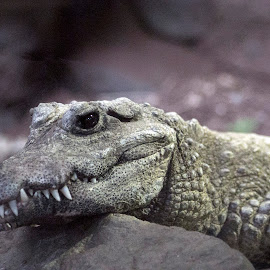 by Eva Pastor - Animals Reptiles ( crocodile,  )