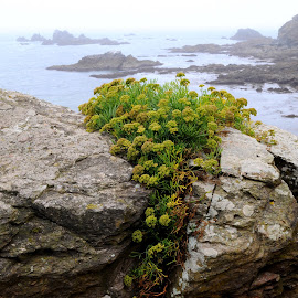 Blooming on the Edge of the Atlantic by DJ Cockburn - Nature Up Close Other plants ( england, coastline, britain, cornwall, polpeor cove, nature, shore, south west coast path, lichen, sea, stone, flower, rock, coast, atlantic, ocean, uk, plant, shag rock, lizard, wall )