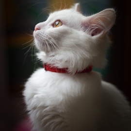 Jasmin by Muhib Al Abed - Animals - Cats Portraits ( red, white, honey, cat, dark, animal, portrait )