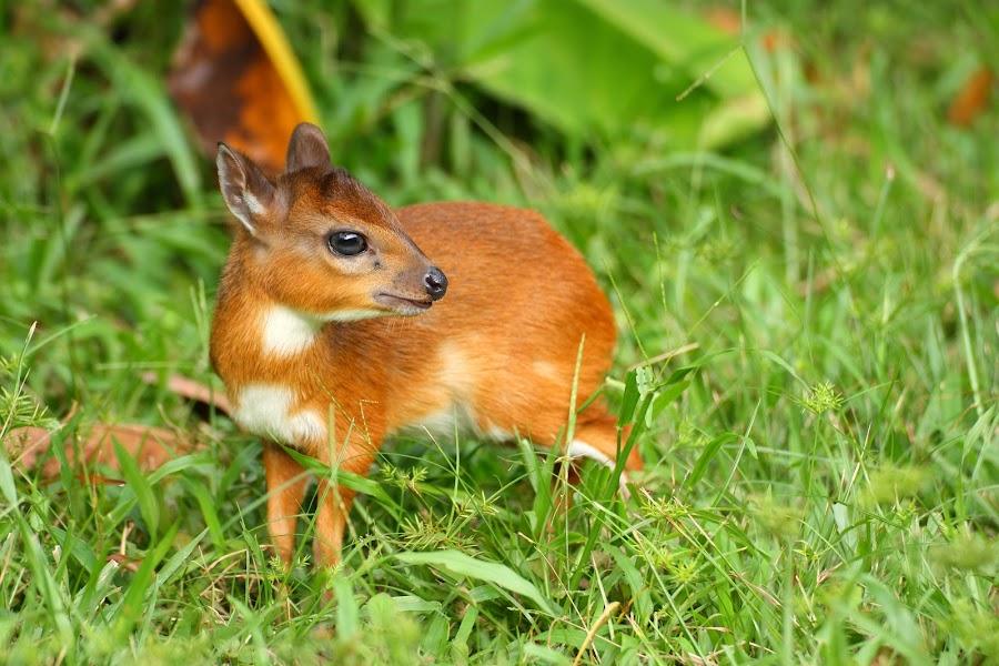 Royal Antelope by Harry Kouwen - Animals Other Mammals
