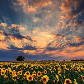 Dreamscape by Zsolt Zsigmond - Landscapes Prairies, Meadows & Fields ( clouds, sky, tree, sunset, sunflowers, sunrays )