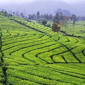 Ciwidey Tea Plantation by Mulawardi Sutanto - Landscapes Prairies, Meadows & Fields ( plat, village, tea, bandung, ciwidey )