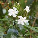 Carnation of India