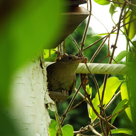 Wren ready to feed its Young by Estela Salazar - Novices Only Wildlife