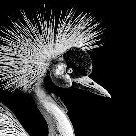 Kronenkranich by Elke Krone - Black & White Animals ( kronenkranich )